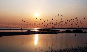 夕陽下淺灘上的鳥群高清攝影圖片