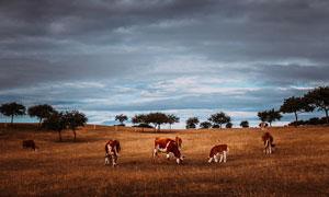 烏云下呼倫貝爾大草原攝影圖片