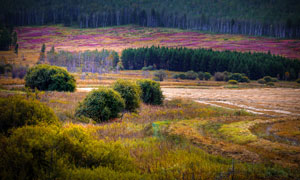 呼倫貝爾草原上的森林攝影圖片