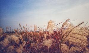 藍天下的蘆葦叢攝影圖片