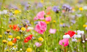 美丽的粉红色花朵和花苞摄影图片