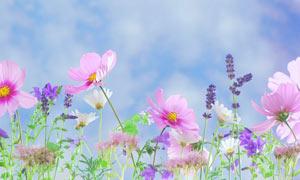 小清新薰衣草和粉色花朵摄影图片