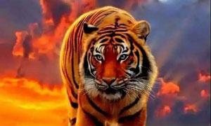 草原上从远处走来的大老虎摄影图片