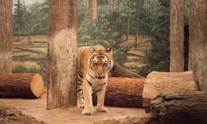 面临砍伐困境中的老虎摄影高清图片