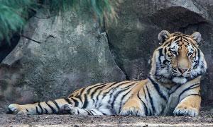 靠着岩石在休息的老虎摄影高清图片