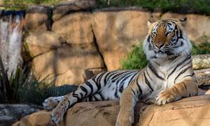 在树荫之下乘凉的老虎摄影高清图片