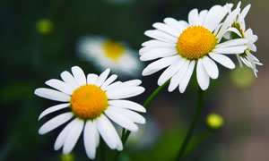 怒放着的菊花近景特写摄影高清图片