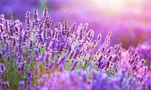 紫色的薰衣草花丛唯美摄影高清图片