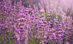 茂密丛生的薰衣草风景摄影高清图片