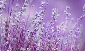 散发着馥郁气息的薰衣草丛高清图片