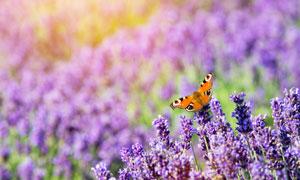 有蝴蝶来的薰衣草特写摄影高清图片