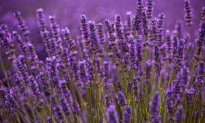 充满香气的薰衣草植物摄影高清图片