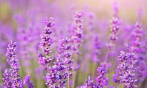 浪漫紫色的薰衣草特写摄影高清图片