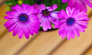 紫颜色的菊花植物特写摄影高清图片