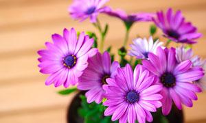 花盆里的紫色菊花植物摄影高清图片