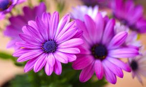 在花季盛开的花卉植物摄影高清图片