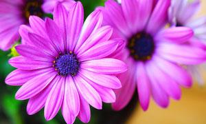室内花盆里的花朵特写摄影高清图片