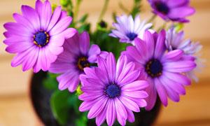 花盆里鲜艳的花朵特写摄影高清图片