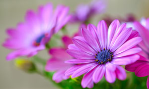 開出紫色花的菊花植物攝影高清圖片