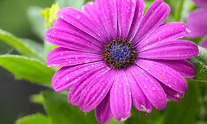 掛著水珠的一大朵鮮花攝影高清圖片