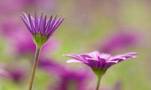 傲立花叢中的紫色菊花攝影高清圖片