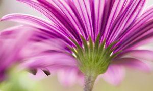 紫色菊花盛開情景微距攝影高清圖片