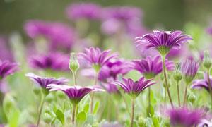 高低不一盛开的小菊花摄影高清图片