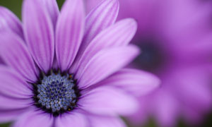 紫色大朵菊花微距特寫攝影高清圖片