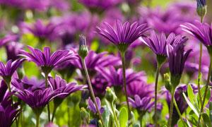 浪漫紫色的小菊花特寫攝影高清圖片