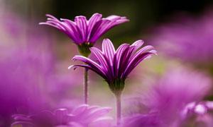 花丛中的两朵菊花特写摄影高清图片