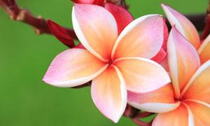 樹枝上盛開的花朵特寫攝影高清圖片