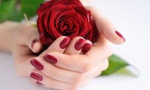 小心呵护玫瑰花的双手摄影高清图片