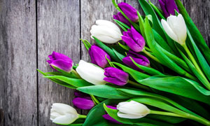 木板上的紫色郁金香等攝影高清圖片