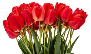 鮮艷的郁金香花束特寫攝影高清圖片