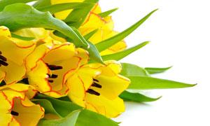 紅邊的黃色郁金香特寫攝影高清圖片