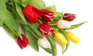 三種顏色混合一起的郁金香高清圖片