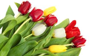 平鋪擺放的郁金香花朵攝影高清圖片