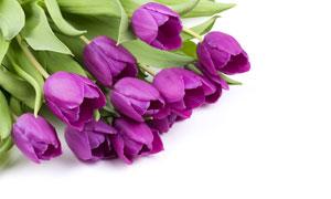 紫色花朵的郁金香特寫攝影高清圖片