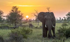黄昏时候草原上的大象摄影高清图片