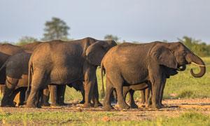 草原上成群结队的大象摄影高清图片