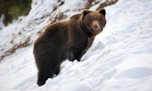 在山坡上看着什么的熊摄影高清图片