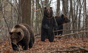 在树林中的几只熊动物摄影高清图片