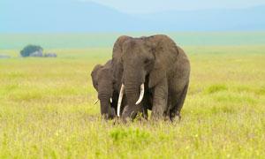 在草原上结伴而行的俩大象高清图片