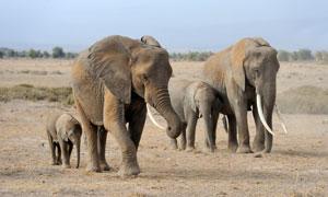 在迁徙路上的两对大象摄影高清图片