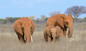 走在草丛中的大象动物摄影高清图片