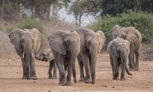 草原上外出觅食的大象摄影高清图片