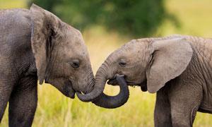 近距离接触的两只大象摄影高清图片