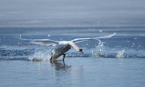 在水面上扑棱着翅膀的天鹅高清图片