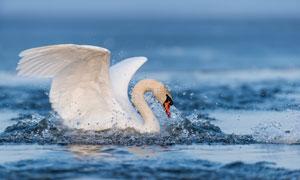 湖面上展开翅膀的天鹅摄影高清图片