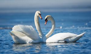 平静水面上的两只天鹅摄影高清图片